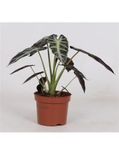 Baby Alocasia plant