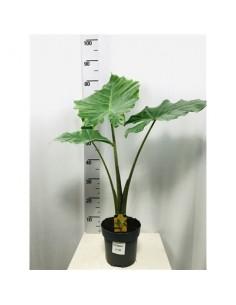 Alocasia Portadora plant