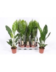 Anthurium ellipticum Jungle...