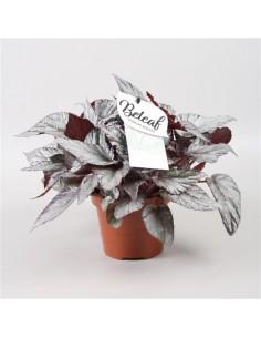 Pianta Begonia Beleaf...