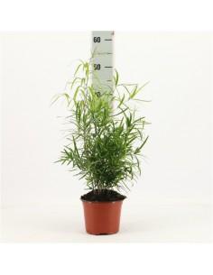 Pianta Asparagus falcatus