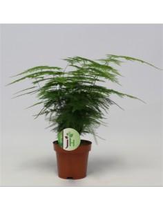 Asparagus setaceus plant