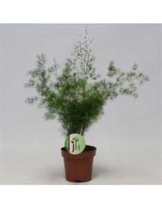 Asparagus umbellatus plant