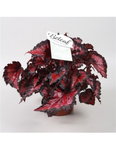 Pianta Begonia Beleaf Inca...