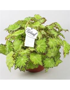 Pianta Begonia blad Beleaf...