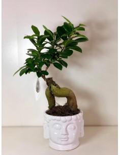 Bonsai Ficus Ginseng,Vaso...