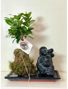 Bonsai Ficus Ginseng...