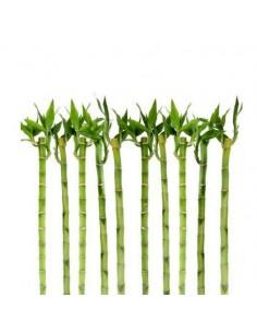 5x Lucky Bamboo a spirale,...