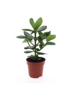 Clusia rosea plant Princess...