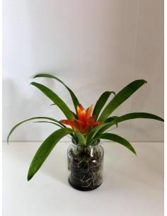 Bromeliad plant with glass...