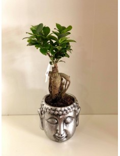 copy of Bonsai Ficus Ginseng