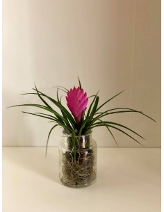Tillandsia plant with glass...