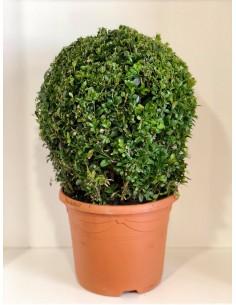 Pianta Buxus a palla Vaso 23cm
