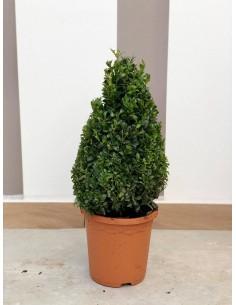 Buxus Pyramid Plant Vase 19cm