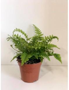Pianta Dryopteris erythrosora