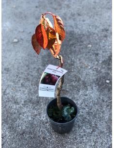 copy of Railroad Cherry Tree