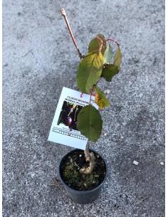 copy of Bigarreau Cherry Tree