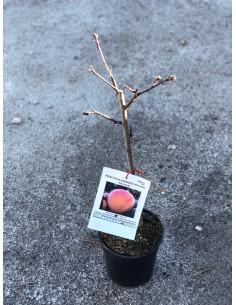copy of Peach Tree Percoca
