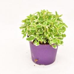 Incense Plant