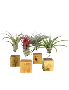 Tillandsia plant on wooden...