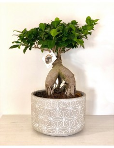 Bonsai Ficus Ginseng, Vaso...