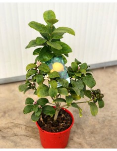 copy of Lemon Tree