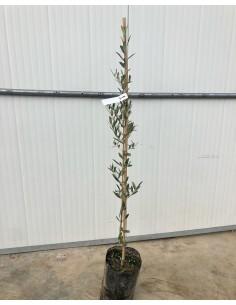 'Leucocarpa' Olive tree
