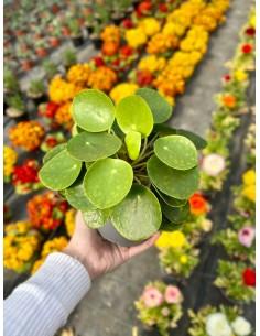 Pianta Pilea peperomioides...
