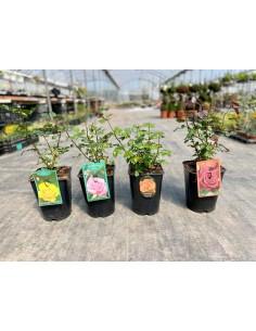 Rosa Plant