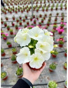 Pianta Petunia Mix colori,...