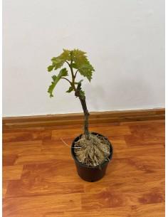 Michele Palieri grape tree