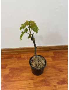 Italy grape tree