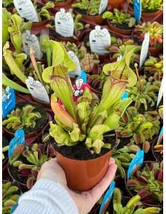 'Sarracenia' Carnivorous Plant