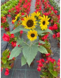 copy of Bouganvillea Plant