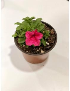 copy of Abelia Confetti Plant
