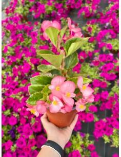 Pianta Begonia Rosa Vaso 14cm