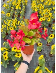 Pianta Begonia Rossa Vaso 14cm
