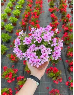 copy of Primula Seeds
