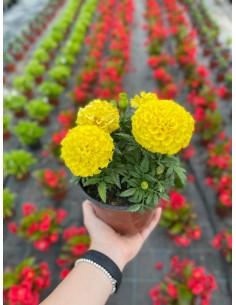 Tagete Lemmonii Plant