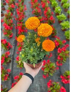 copy of Tagete Lemmonii Plant