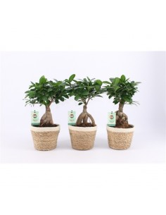 Bonsai Ficus Ginseng con...