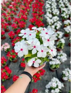 copy of Vinca Plant Vase 7cm