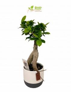 copy of Bonsai Ficus Ginseng