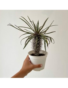 copy of Mammillaria...