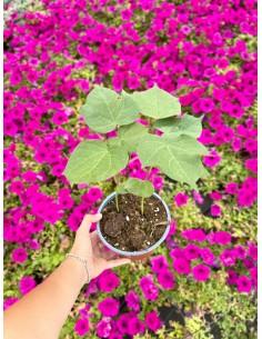 copy of Cotton Plant Seeds