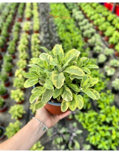 copy of Sage Plant