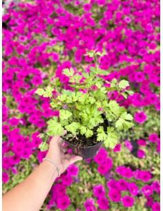 Pianta di Prezzemolo Vaso 14cm