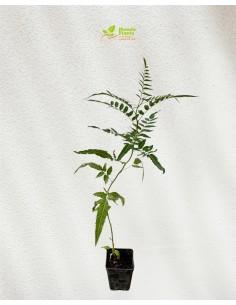 Schinus molle tree