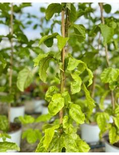 Pianta Passiflora Edulis