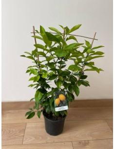 copy of Lemon Tree